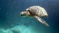 hone - green sea turtle