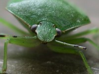 patient southern green stink bug model