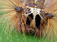 bad hair day on forest tent caterpillar