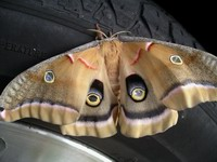 polyphemous moth on car tire