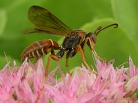 brown wasp